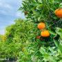 cypr-mandarynki_0377
